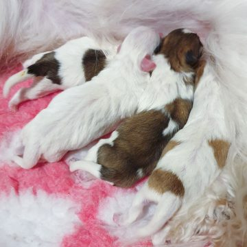 Just born coton de tulear litter with 4 puppies